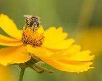 Pszczoły i kwiaty fotografia royalty free