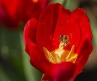 Pszczoły i kwiaty zdjęcie royalty free