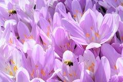 Pszczoły i kwiaty zdjęcia stock