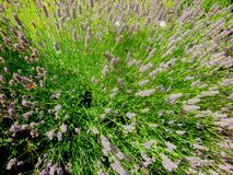 Pszczoły i motyle lata wokoło lawendy zdjęcia royalty free