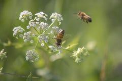 Pszczoły i roślina w lesie fotografia royalty free