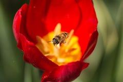Pszczoły i tulipany zdjęcia royalty free