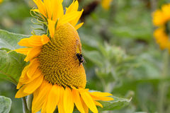 Pszczoły karmienie na słoneczniku Obraz Royalty Free