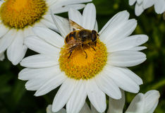 Pszczoły komarnicy zbliżenie Zdjęcie Royalty Free