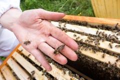 Pszczoły królowa na ręce Zdjęcia Stock