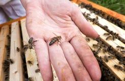 Pszczoły królowa na ręce Obrazy Stock