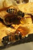 Pszczoły które przychodzą od srogiej zimy, Obraz Stock