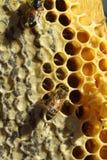 Pszczoły które przychodzą od srogiej zimy, Obraz Royalty Free