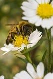 pszczoły kwiatu midday kolor żółty Zdjęcia Royalty Free