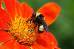 pszczoły kwiatu pomarańcze Obrazy Royalty Free