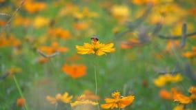 Pszczoły lądowanie na pomarańczowym kosmosie zdjęcie wideo