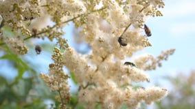 Pszczoły latają wewnątrz na białych kwiatach i zbierają nektar swobodny ruch różnorodni insekty zapyla kwitnących białych kwiaty zbiory wideo