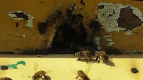 Pszczoły latają wokoło roju zbiory wideo
