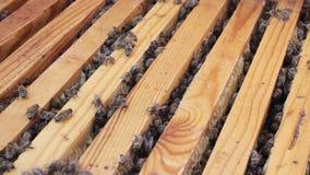 Pszczoły latają wokoło roju zdjęcie wideo