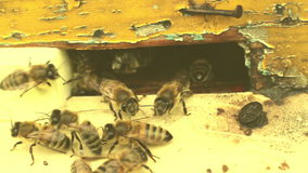 Pszczoły latają wokoło roju zbiory