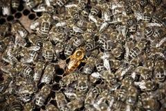 Pszczoły makro- strzał Obraz Royalty Free