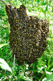 Pszczoły miodowy Mrowie zdjęcia stock