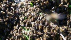 Pszczoły mrowie zbiory