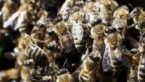 Pszczoły mrowie zdjęcie wideo