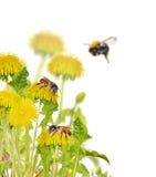 Pszczoły na żółtych jaskrawych dandelions obraz stock