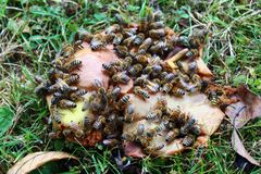 Pszczoły na bonkretach fotografia royalty free