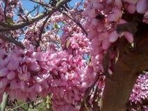 Pszczoły na drzewie różowa akacja zdjęcie royalty free