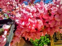 Pszczoły na drzewie różowa akacja zdjęcia stock
