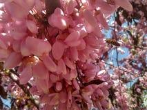 Pszczoły na drzewie różowa akacja obraz royalty free