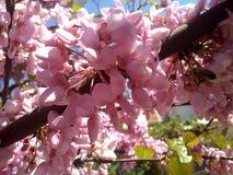 Pszczoły na drzewie różowa akacja obraz stock