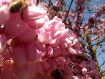 Pszczoły na drzewie różowa akacja zdjęcie stock