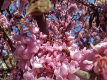 Pszczoły na drzewie różowa akacja fotografia royalty free