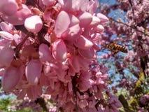 Pszczoły na drzewie różowa akacja obrazy royalty free