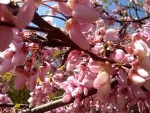 Pszczoły na drzewie różowa akacja obrazy stock