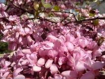 Pszczoły na drzewie różowa akacja fotografia stock