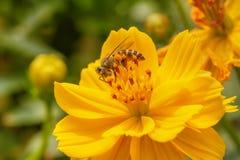 Pszczoły na kosmosu kwiacie zdjęcie stock