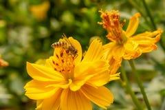 Pszczoły na kosmosu kwiacie obrazy royalty free