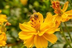 Pszczoły na kosmosu kwiacie zdjęcie royalty free