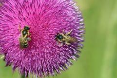 Pszczoły na kwiacie Fotografia Stock