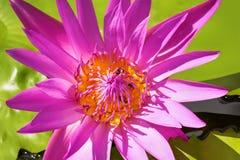 pszczoły na lotosach fotografia royalty free