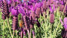 Pszczoły na purpurowym lawendowym zgromadzenie nektarze DOF zbiory