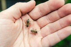 Pszczoły na ręce Fotografia Stock