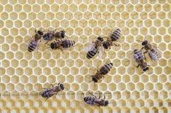 Pszczoły na ramie z miodem obrazy stock