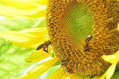 Pszczoły na słoneczniku Obrazy Royalty Free