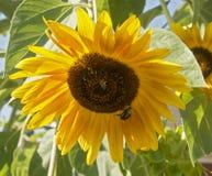 Pszczoły na słoneczniku Fotografia Royalty Free