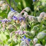Pszczoły na Starflower obrazy stock