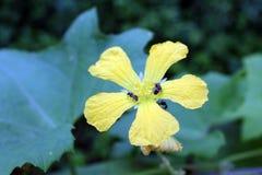 Pszczoły na Torai Jarzynowym kwiacie obraz royalty free
