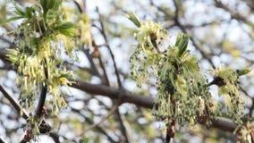 Pszczoły na wiosna kolczykach zbiory