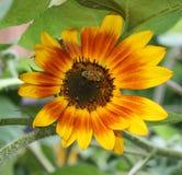 pszczoły natury lato słonecznik Obraz Stock