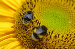 pszczoły natury lato słonecznik Obrazy Royalty Free