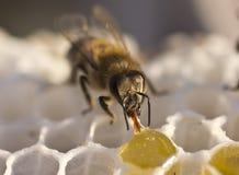 Pszczoły nawracają nektar w miód Fotografia Stock